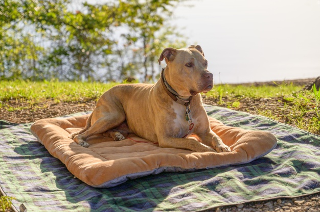 Routine Care for Pitbull Dogs