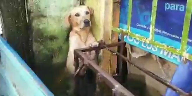 Stranded Dog Rescued amid Heavy Floods in Mexico, Video Leaves Netizens Emotional