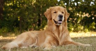 10 Dog-Care Facts Every Golden Retriever Dog's Owner Needs to Know
