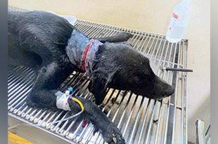 Stray Dog Attacked near BITS Campus