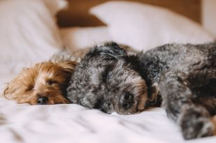 Sharing a Bed with your Dog: Look at the Pros and Cons