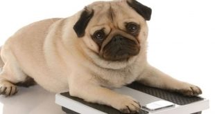 A Pet Owner's Guide To Prevent Obesity In Pets