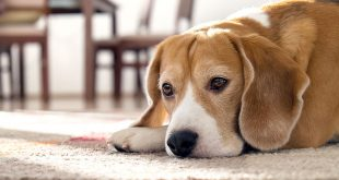 Top 11 Signs Your Dog is in Pain