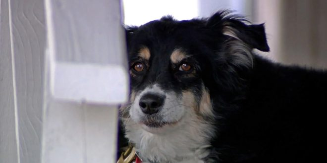 An 8-Year-Old Border Collie Named Lulu is Inheriting a $5 Million Trust
