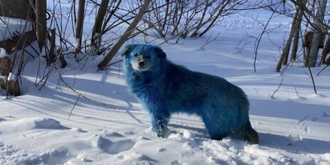 Pack of Stray Dogs with Bright Blue Fur Spotted in Russia