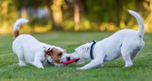 Pet Dogs Play more when Humans Watching, U.S. Study Says