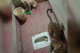 Stray Dog Trapped Inside Toilet with Leopard in Karnataka Village. What happened Next