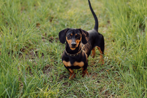 Cost of Total Ownership for a Dachshund in India