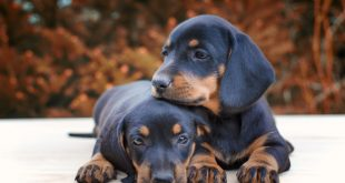 How Much A Dachshund Puppy Costs In India