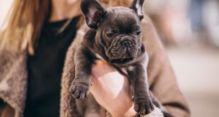 What Do French Bulldog Puppies Cost In The US