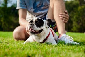 What Makes the French Bulldog so Expensive