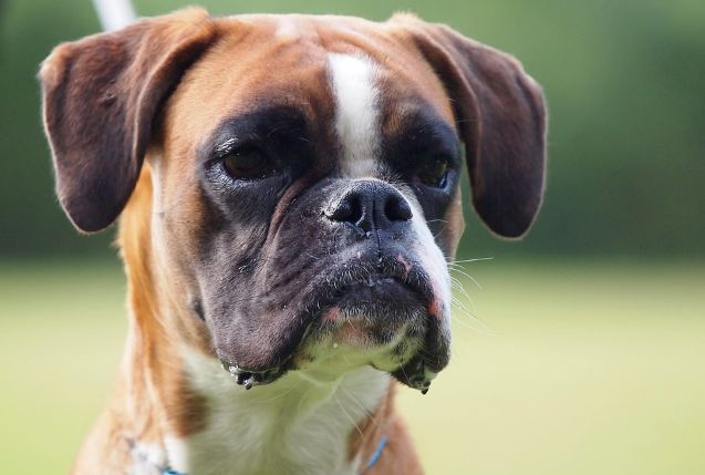 What Can You Do to Stop Change Boxer Dog Behaviors