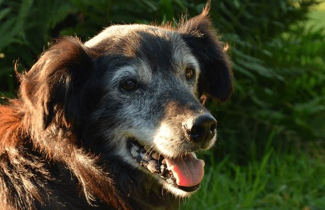 A Comprehensive Guide On Senior Dog Care