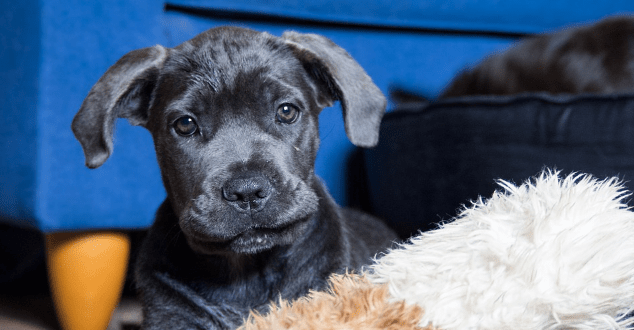 Cane Corso Everything You Need To Know