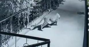 Leopard enters Nashik home, takes away pet dog. Chilling moment captured
