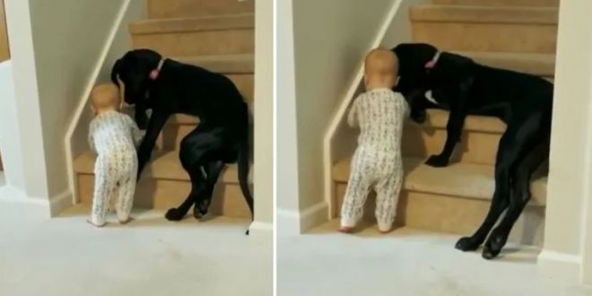 Pet dog stops toddler from climbing stairs. Internet loves heartwarming viral video