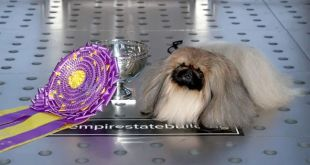 """The Controversy Over """"Wasabi"""" The Pekingese Winning Westminster Dog Show"""
