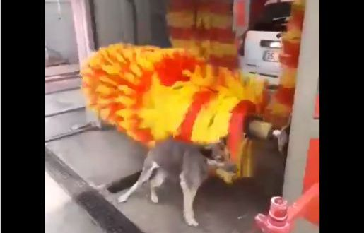 Watch: Dog gets himself scrubbed and cleaned at car wash