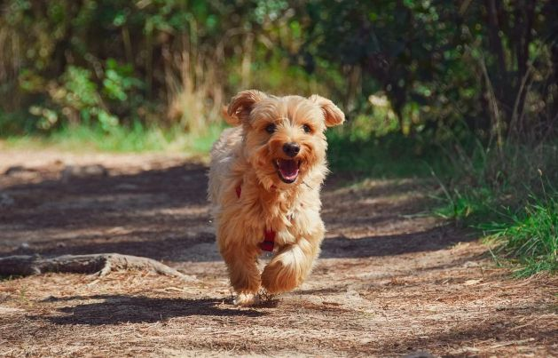 Things Only a Yorkshire Terrier Owners Understand