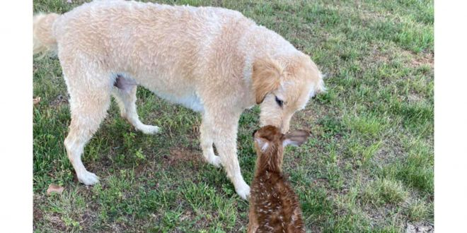 Baby Deer Visits Dog Who Saved It From Drowning. We're Not Crying, You Are