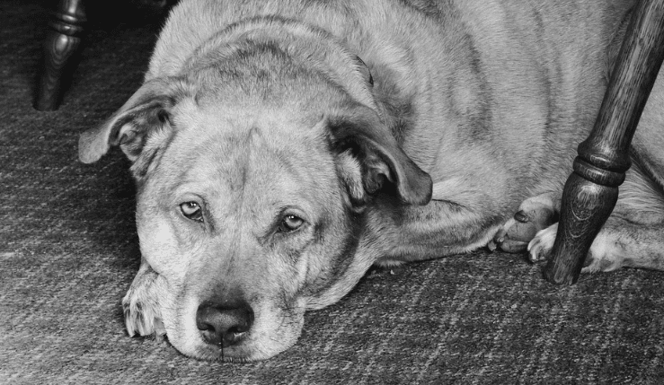 Why Your Senior Dog Is Losing Weight And What To Do