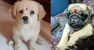 'Poodleshwari Devi': Pet Dogs Flaunting 'Bindi' in Desi Twitter Trend will Make Your Day