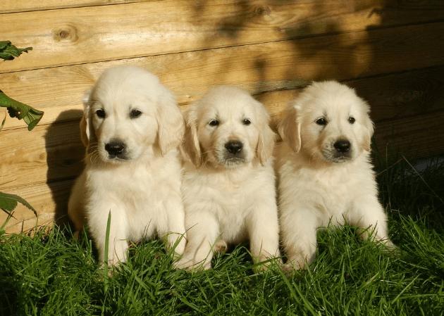 Are Golden Retriever Good Family Pets