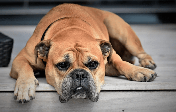Common Symptoms of Kennel Cough