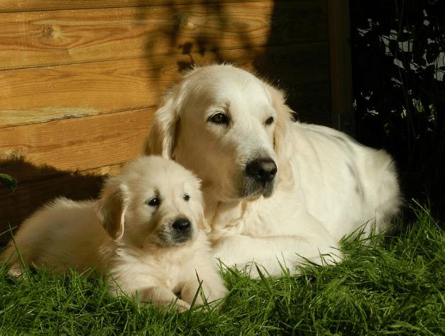 Facts About A Golden Retriever Dog