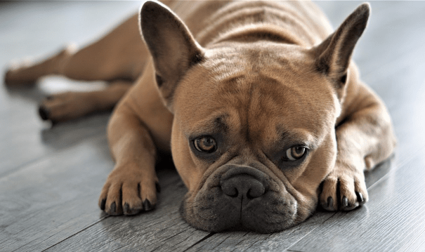 Facts About French Bulldog Breed-min