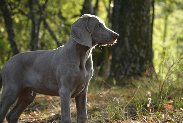 Grey Hound Pup