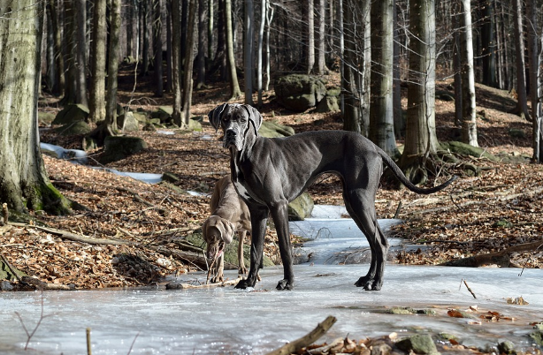 Health problems in Great Danes