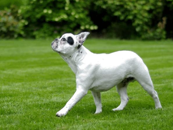 Reasons for French Bulldog Breed Popularity-min