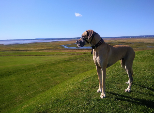 Tips to improve the life span of Great Dane