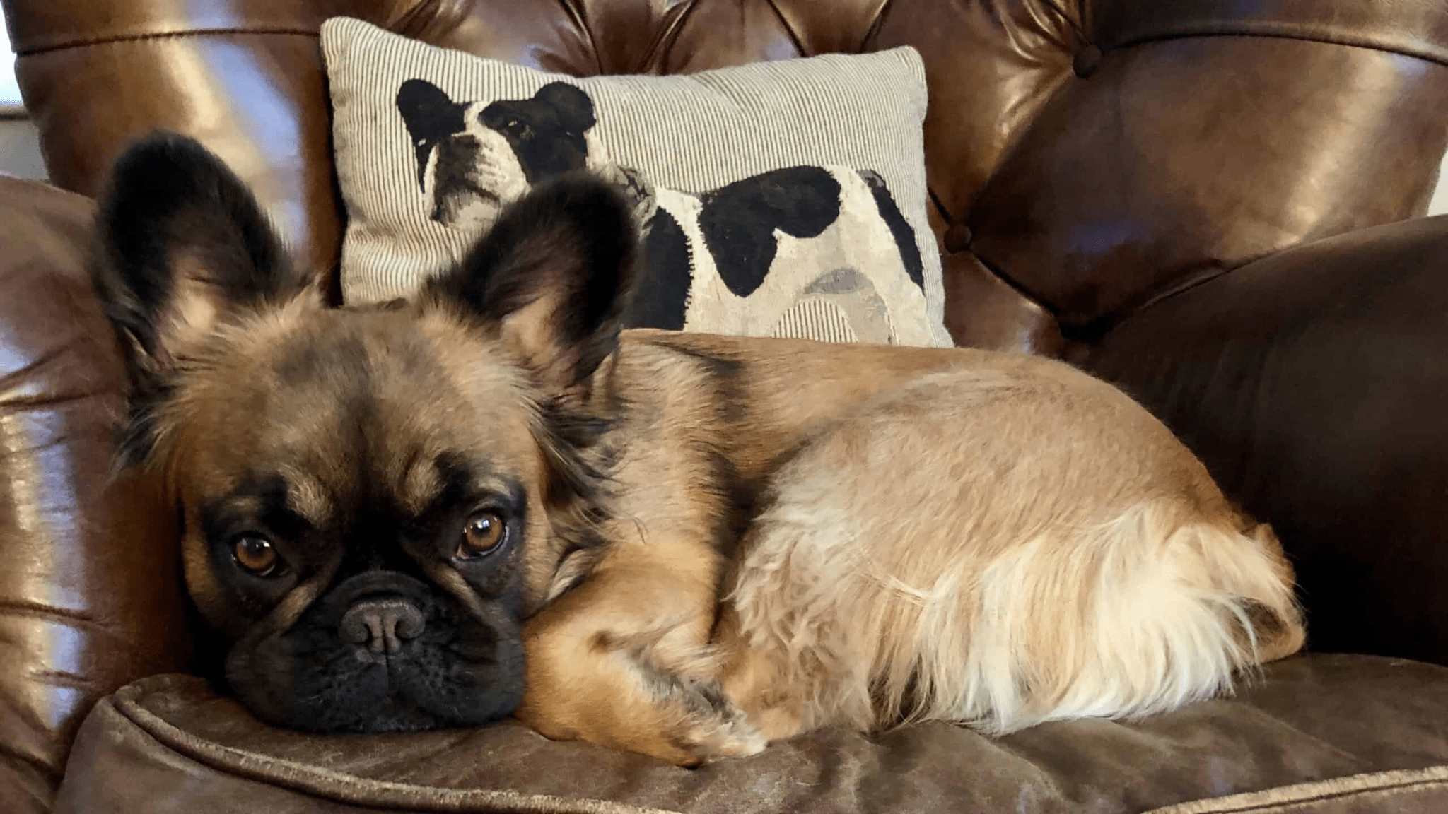 What Are The Things To Know About The Long Haired French Bulldog