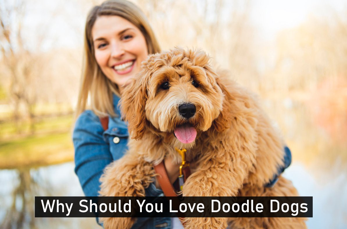 Why You Should Love Doodle Dogs