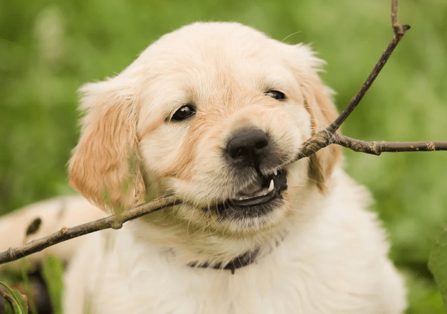 Why are Golden Retriever Dogs Good Family Pets