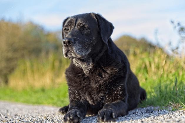 senior stage of dog