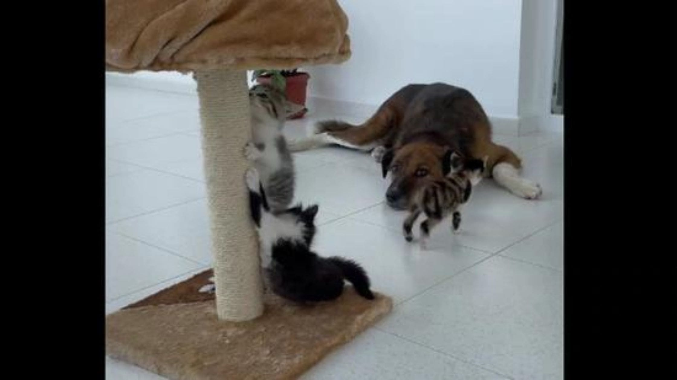 Dog Babysitting 3 Kittens Video Went Viral