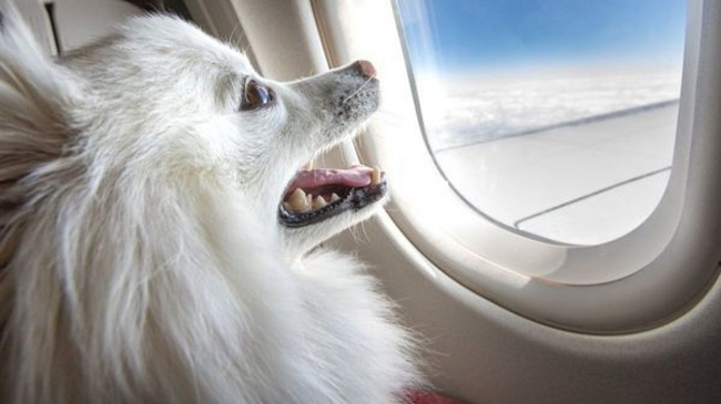 Dog Owner Books Entire Business Cabin of Air India for Pet