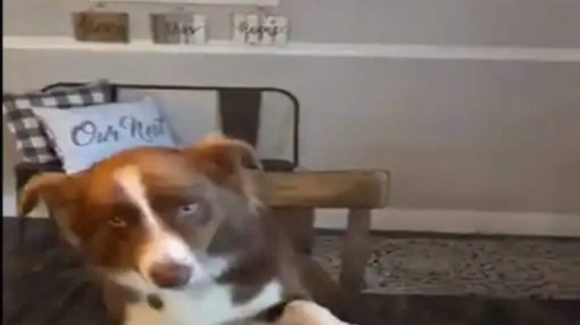 New Viral: Dog Eats With The Owner And Follows Table Manners