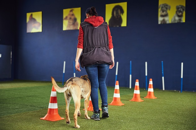 Professional handler showing an agility exercise to a dog