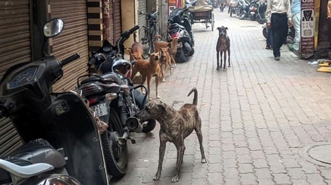 Stray Dog Menace Troubles Tourists And Residents In Amritsar